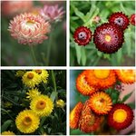 Strawflower Seed Pack (4 Varieties) Australia Natives + White Strawflower $10 (Was $18) + Free Shipping @ Veggie Garden Seeds