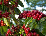 6 x 250g Specialty Coffee Beans Fresh Roasted $49.95 With Free Shipping @ Manna Beans