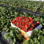 [WA] Strawberry Picking $10 per Box @ Gnangara