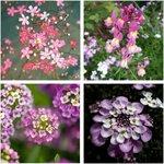 Fairy Garden Flower Seed Pack (4 Varieties) $10 + Free Shipping @ Veggie Garden Seeds (Excludes WA/NT)