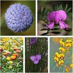 Australian Native Flower Seed Pack (6 Varieties) $15 + Free Shipping @ Veggie Garden Seeds (Excludes WA/NT)