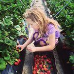 [WA] Pick Your Own Strawberries - ~3kg Tray for $8 @ Kien Strawberry Farm, Gnangara