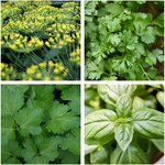 Kitchen Herb Seed Pack, 4 Varieties $7 (Normally $14)  + Free Shipping @ Veggie Garden Seeds