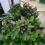 Indoor and Outdoor Plants $25 @ Woolworths (in Store Only)
