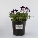 90mm Carousel Colour Assorted Potted Flowers $1 (Was $1.99) @ Bunnings (Nationally)