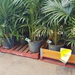 [WA] Advanced Kentia Palms $100 ($174 RRP) @ Bunnings (Bayswater)