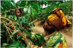 50% off Fresh Single Origin Coffee 1kg $18.75 (RRP $37.50), Flat Rate Shipping $6.99 @ Lime Blue Coffee