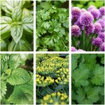 Kitchen Herb Seed Pack (6 Varieties) $10 (Was $21) + Free Shipping @ Veggie Garden Seeds
