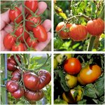 Tomato Seed Pack 4x Varieties (400 Seeds) + Bonus Basil Seed $9.50 + Delivery (Normally $15) @ Veggie Garden Seeds