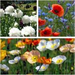 Poppy Flower Seed Pack (3 Varieties) $9 + Free Shipping (Excludes WA/NT) @ Veggie Garden Seeds