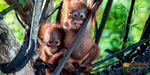 Win an Orangutan Adventure Holiday in Central Borneo for 2 from Orangutan Odysseys
